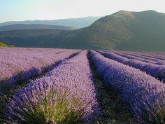 The wonder of Purple. The beauty of nature Lavender Fields, Lavender Flowers, Lavander, Provence Style, Provence France, Champs, Sandy Soil, Garden Spaces, Cool Plants