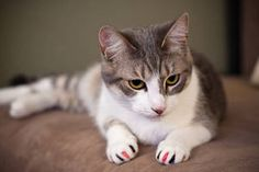 Not a question you hear every day! Although they might look like a colorful fashion statement for your cat, these nail caps might actually be a saving grace for you and your feline.   Guss, a beloved cat here at our office, is always good for a mischievous story! Besides play time with Momma's new …