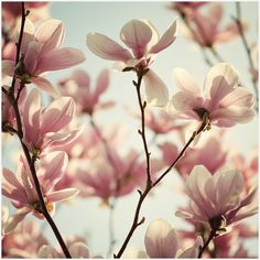 Magnolias...I remember the day I did a similar photo shoot on the grounds of Fairleigh Dickenson College in Madison, NJ.  They have the most amazing trees...I must revisit this Spring!!!
