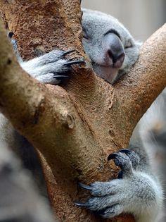 Um coala foi fotografado nesta quinta-feira (1) dormindo abraçado a uma árvore no zoológico de Duisburg, na Alemanha (Foto: Horst Ossinger/A...