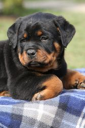 Rottweiler puppy. I wonder if our Sophie was this cute when she was little. #rottie