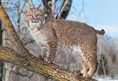 Lynx roux ou Bobcat - Il est chassé par l'homme, à la fois pour le sport et sa fourrure. On le retrouve en Amérique du nord depuis le sud du Canada jusqu'au centre du Mexique. Il se nourrit essentiellement de lièvres et de lapins, mais ils chassent également souris, rats, écureuils, oiseaux, faons, cerfs-mulets, chauves-souris. Il chasse la nuit. Il se tient à l'affût, décelant le moindre son que font ses proies, mais il ne semble pas utiliser son odorat. Comme tous les félins, il se déplace…