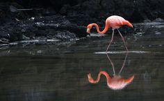 Flamingo-comum (Phoenicopterus roseus)
