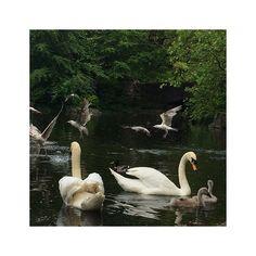 #lac #oiseaux #cygnes #mouettes #canard #dublin #birds #swan #duck #seagull #nature #latergram