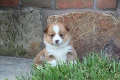 """😘🐾 #Spunky & #Sweet, Anne is a true lady!! This red #WelshCorgi is so cute and will make an excellent companion for the whole family. This #Corgi pup is named Anne and that's Anne spelled with an """"E"""" 😉. ▬▬▬▬▬▬▬▬▬▬▬▬▬▬▬▬▬▬▬ #Charming #PinterestPuppies #PuppiesOfPinterest #Puppy #Puppies #Pups #Pup #Funloving #PuppyLove #Cute #Cuddly #Adorable #ForTheLoveOfADog #MansBestFriend #Animals #Dog #Pet #Pets #ChildrenFriendly #PuppyandChildren #ChildandPuppy #LancasterPuppies… Corgi Puppies For Sale, Pembroke Welsh Corgi Puppies, Lancaster Puppies, Animals Dog, Corgis, Mans Best Friend, Puppy Love, Pets, Lady"""