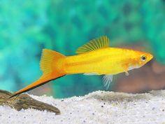 Tropical Fish Aquarium, Freshwater Aquarium Fish, Saltwater Aquarium, Aquarium Fish Tank, Aquarium Ideas, Fish Aquariums, Tetra Fish, Fish Fish, Swordtail Fish