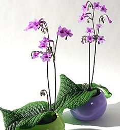 Streptocarpus Growing Conditions: Medium to bright light; 70-80 degrees F., 60-65 degrees F. in winter; keep soil barely moist