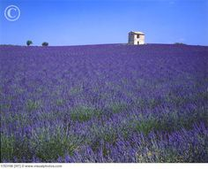 Lavender Fields in Southern France - would love to see!