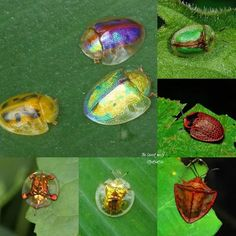 Golden tortoise beetle..Bọ cánh cứng rùa... - The insect world | Facebook