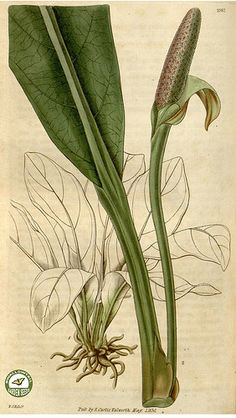 Pothos crassinervius Curtis's botanical magazine s.2 v.4 (1830) | Flickr - Photo Sharing!