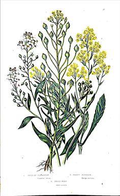 Impression de botanique Anne Pratt Antique par ClassicCollections1