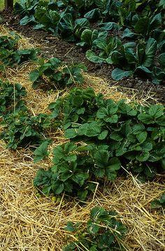 A talajtakarás - gazigazito. Garden, Plants, Garden Plants