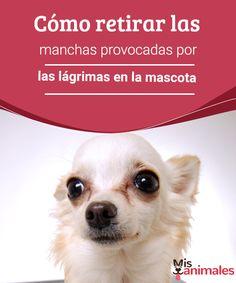 Cómo retirar las manchas provocadas por las lágrimas en la mascota - Mis animales Las manchas de lágrimas en la mascota, no sólo es un problema estético, sino que es algo más complicado, ya que se trata de un problema de salud.