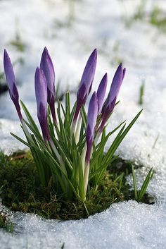 Crocuses in the snow | Explore GillianEL's photos on Flickr.… | Flickr - Photo Sharing!