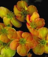 Potentilla, Sunset (Potentilla fruticosa 'Sunset') Masses of color from glowing brick-orange blooms held on dense branches. Neat, compact shrub useful for borders, low hedges or entryways. Flower color fades to yellow in hot weather. Deciduous. 2' x 3'