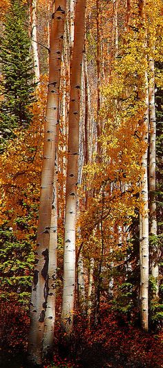 ~~Reaching For Light ~ tall aspens and conifer trees in the evening light of autumn, Rocky Mountains, Colorado by Terril Heilman~~