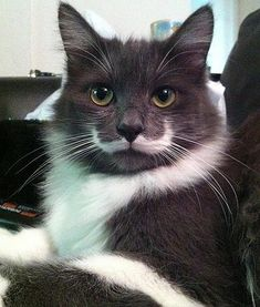 """Hamilton the hipster cat, famous for his """"mustache"""" marking, is pictured looking adorable. So cute!"""