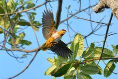 Wild black-headed Parrot (caique) in Brazil forest (Pionites melanocephalus)