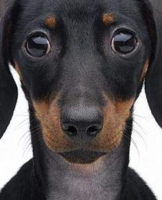 dackshund by aisha