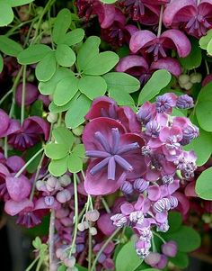 Akebia quinata- produces edible fruits and you can make tea from the leaves.  Chocolate Vine in Blossom, photo by valentine.gr