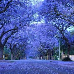Photos of Jacarandas in bloom in the cities of Johannesburg and Pretoria (Jacaranda City) - South Africa. Pic by John Wu Pretoria, Bonsai Seeds, Tree Seeds, Purple Trees, Colorful Trees, Purple Rain, Blue Flowers, Beautiful Flowers, Beautiful Places