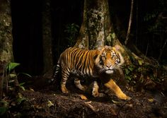A tiger peers at a camera trap it triggered while hunting in the early morning in the forests of northern Sumatra, Indonesia. Tigers can thrive in many habitats, from the frigid Himalaya to tropical mangrove swamps in India and Bangladesh.