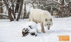 White Wolf Yamnuska Sanctuary Alberta Canada