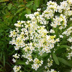 Délicatesse Parsley, Herbs, Plants, Herb, Flora, Plant, Planting