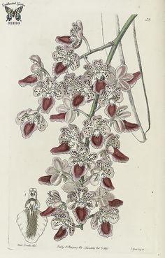 Fox Brush orchid Aerides maculosa Native to India. Edwards's Botanical Register 1845 Illustration by Sarah Ann Drake