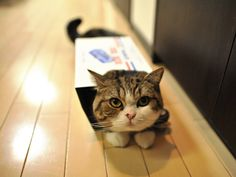 Maru the cat! He is super cute and loves boxes! (It makes him even cuter!)