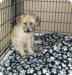 Brownsville, TX - Wirehaired Fox Terrier Mix. Meet Carol a Puppy for Adoption.