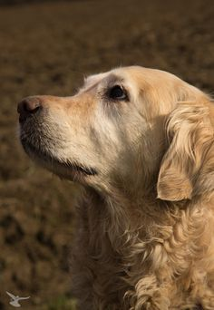 Golden Retriever.   Somehow I am going to find a Golden Retriever. Love these dogs!