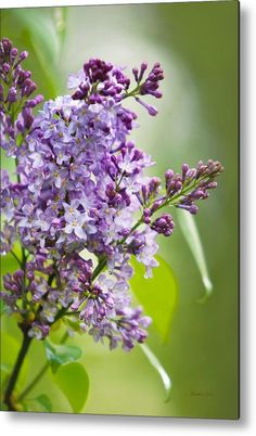Fresh Purple Lilac Flowers Metal Print by Christina Rollo.  All metal prints are professionally printed, packaged, and shipped within 3 - 4 business days and delivered ready-to-hang on your wall. Choose from multiple sizes and mounting options.