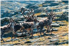 Reindeer by Tommy Roenningen: Rangifer tarandus also known as caribou in North America, is a species of deer native to Arctic, Subarctic, tundra, boreal and mountainous regions. This includes both sedentary and migratory populations. While overall widespread and numerous, some of its subspecies are rare and at least one has already gone extinct. Reindeer vary consid... #Reindeer