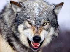 Gray Wolf Wallpaper Wölfe Tiere Knurren