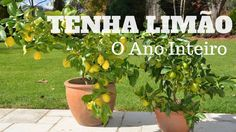 Tenha Limão o Ano Inteiro - Faça muda de pé de limão - YouTube