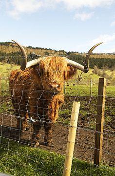 Moo moo it's a highland coo! #Scotlandlove