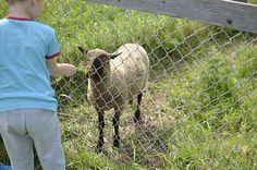 feeding sheep Finland, Sheep, Goats, Animals, Animais, Animales, Animaux, Animal, Goat