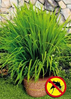 Lemon Grass repels mosquitoes (plant in pots on porch & deck!)