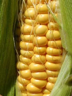 Sweetcorn, also known as Corn- how to grow it and what it needs...