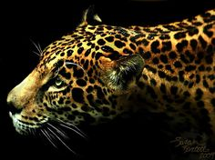 "Jaguar (Nayla) at Woodland park zoo by Sarah Bartell ""little Lioness"" on flickr.com"
