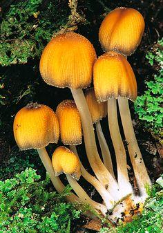 Glistening Inkcap (Coprinus micaceus)