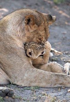 Charming pictures of the maternal bond between animals – Yukina Ashanti - Baby Animals Big Cats, Cats And Kittens, Cute Cats, Nature Animals, Animals And Pets, Wild Animals, Beautiful Cats, Animals Beautiful, Cute Baby Animals