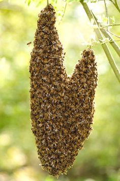 A swarm of bees in May Is worth a load of hay; A swarm of bees in June Is worth a silver spoon; A swarm of bees in July Is not worth a fly.    -- old nursery rhyme
