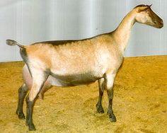 Alpine dairy goat - look at her udder!!
