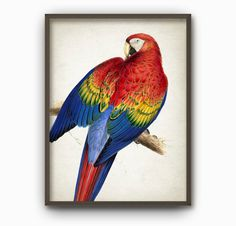 Scarlet Macaw Art Print - Vintage Parrot Illustration Wall Art Poster - (AB345) by QuantumPrints on Etsy https://www.etsy.com/uk/listing/244042248/scarlet-macaw-art-print-vintage-parrot