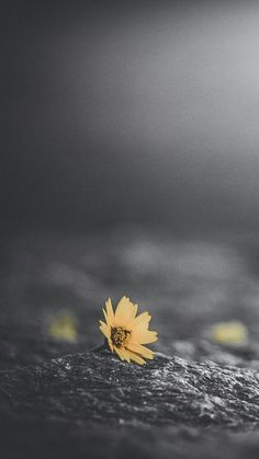 Gelbe Blumentapete mit dunklem Hintergrund – Yellow floral wallpaper with dark background – Dark Background Wallpaper, Dark Wallpaper, Background Pictures, Nature Wallpaper, Aesthetic Backgrounds, Dark Backgrounds, Aesthetic Wallpapers, Wallpaper Backgrounds, Dark Photography