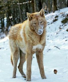 Wow, strange color for a wolf,  and the pointed ears, this may be a Hybrid.  Beautiful Animal.