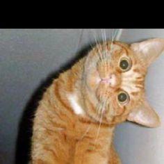 Stiff neck Crazy Cats, Big Cats, Cute Cats, Stiff Neck, Pets, Animals, Pretty Cats, Animales, Animaux