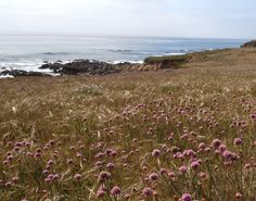California coastal Armeria